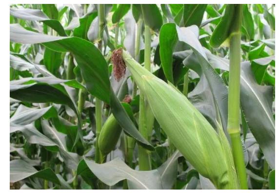 桂林水果玉米种植基地可以生吃的水果玉米成熟啦!600亩种植基地就在西二环