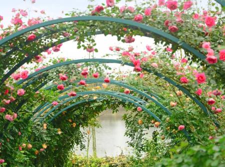 永福县香巴拉湖畔农庄,湖畔花园的月季盛放.边吃饭,彼岸赏花。