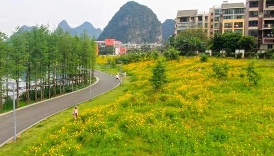 桂林两江四湖二期桃花湖景公园金色花海,免费,免费欣赏一大片花。